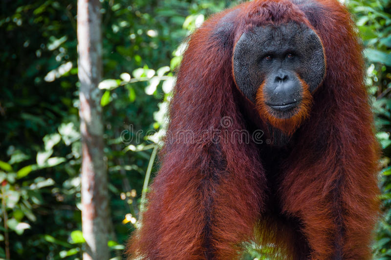 Orang Utan alpha male standing in Borneo Indonesia. Orang Utan alpha male standing in Tanjung Puting National Park Kalimantan Borneo Indonesia stock image