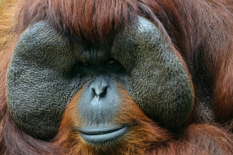 Orang-Utan Blickkontakt lizenzfreies stockfoto