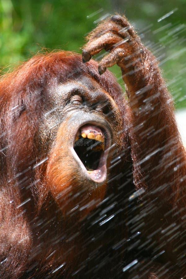 Orang-Utan in der Dusche 2 lizenzfreies stockfoto