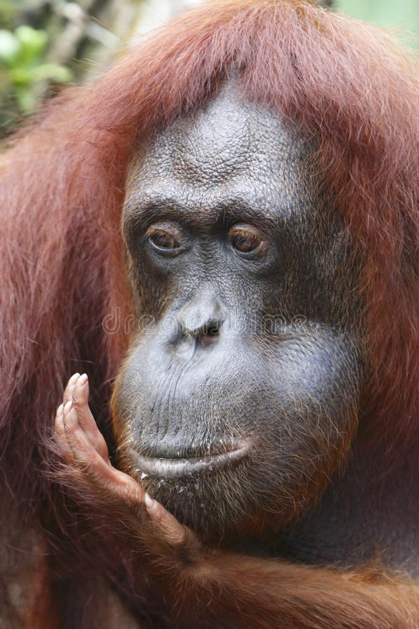 Download Orang Utan 3 stock photo. Image of life, singapore, wildlife - 33206674