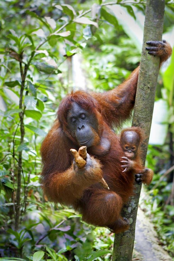 Orang-Utan mit ihrem Schätzchen stockfoto