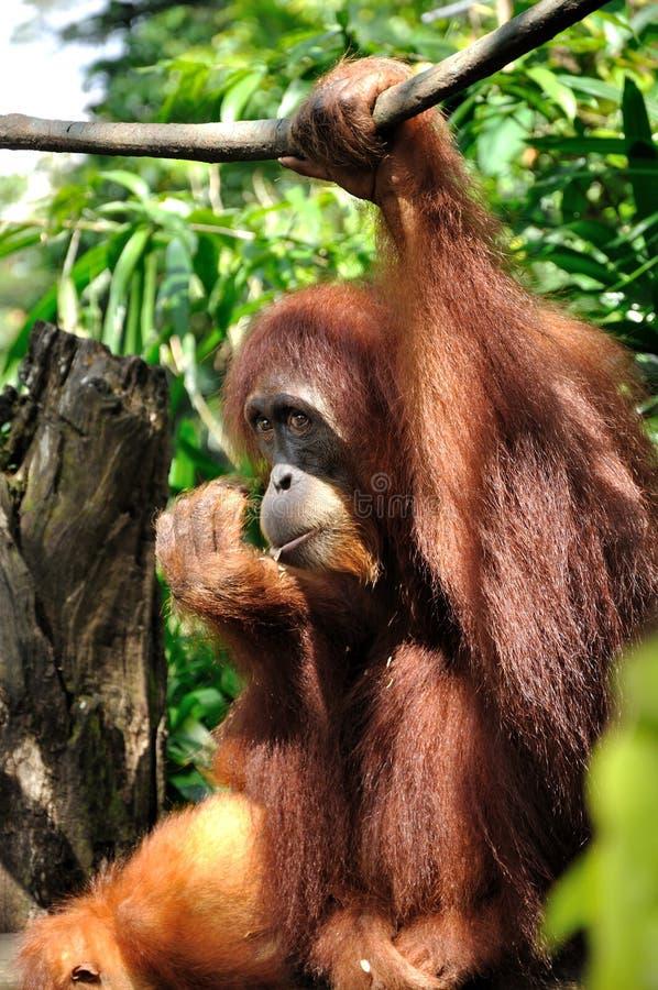 Orang-Utan in Singapur-Zoo stockfotografie