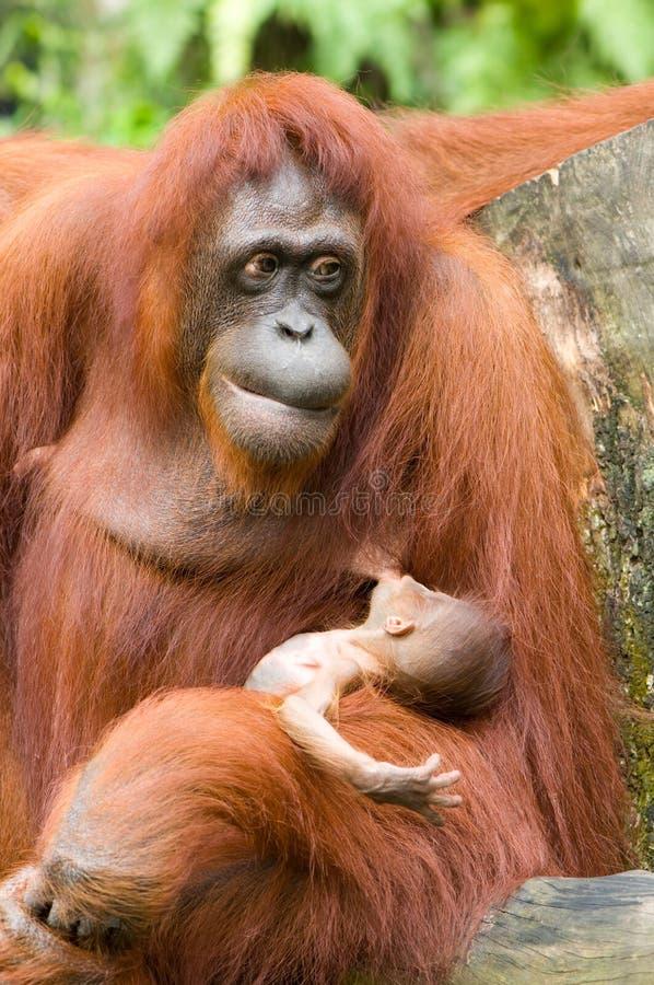 Free Orang-utan With Baby Stock Images - 8422984