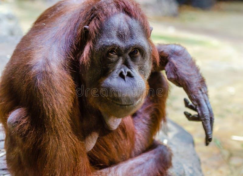 Orang-Utan am Zoo lizenzfreie stockbilder