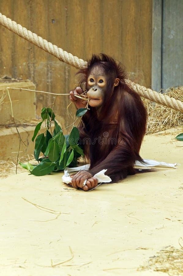An orang-utang with a branch royalty free stock image