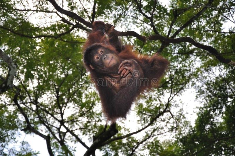 orang utans zdjęcia royalty free