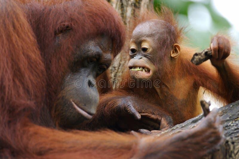 Orang Utans imagens de stock royalty free