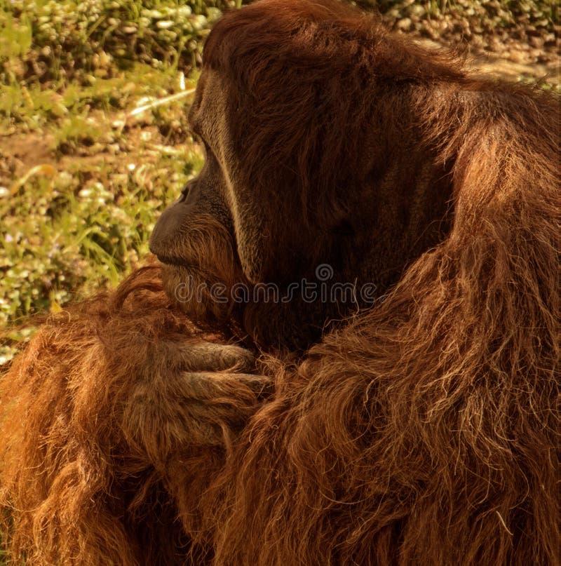Orangatang стоковая фотография