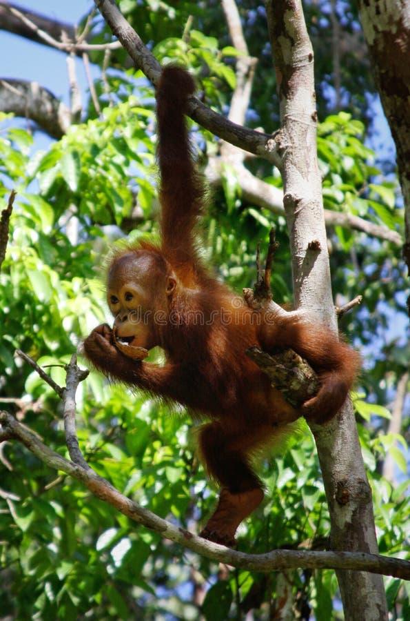 Orangatang ; photos libres de droits