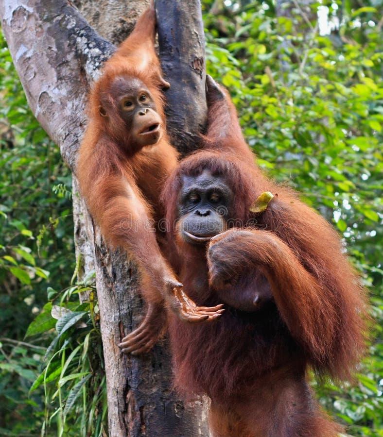 Orangatang photo libre de droits