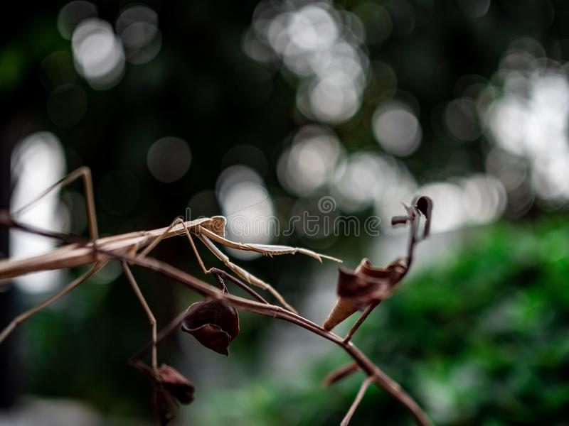 Orangeâ€-‹mantis†‹kletternde dried†‹tree†‹Niederlassung stockbild
