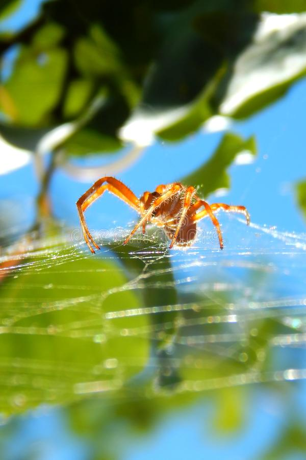 2orange在网的蜘蛛 在绿色叶子和蓝天背景  免版税库存照片