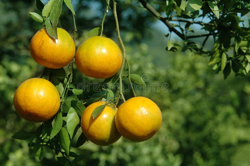 Download Orange stock photo. Image of food, produce, outdoor, harvest - 17307874