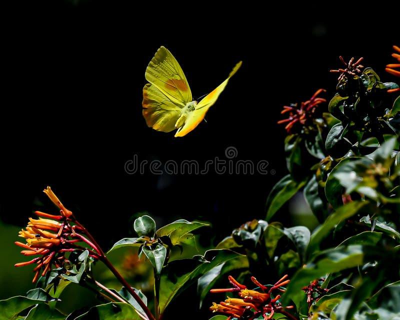 Orange abgehalten schwefeln Schmetterling im mitten in der Luft aus lizenzfreie stockfotos