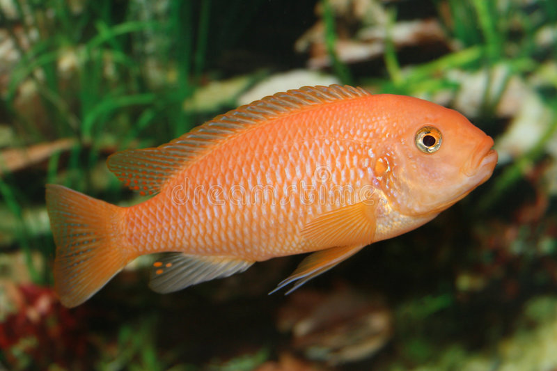 Download Orange african cichlid. stock photo. Image of swimming - 3422806