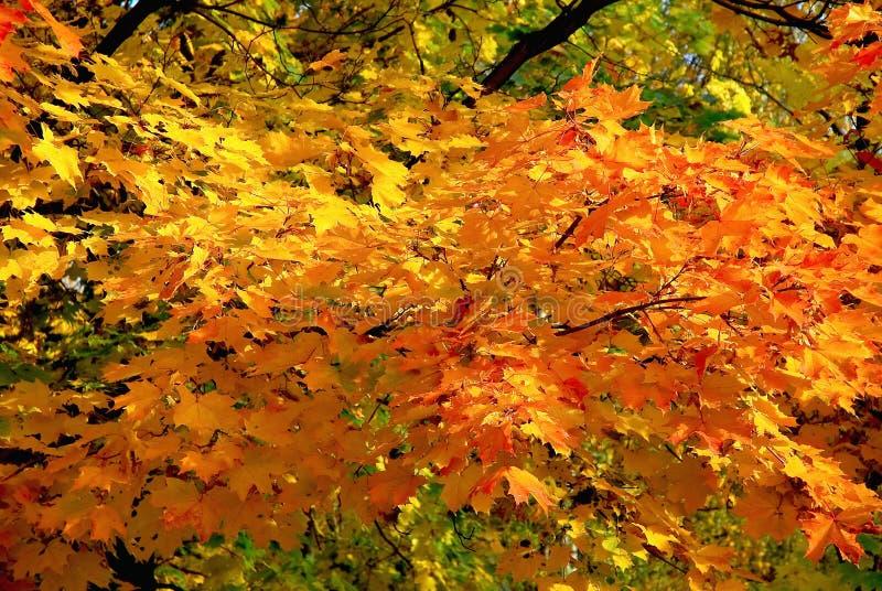 Orange Ahornbaum im Herbst lizenzfreies stockbild