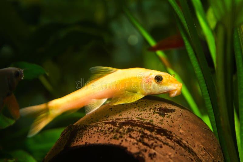 Orange algae eater, Gyrinocheilus, freshwater cypriniform fish, golden dominant female on coconut shell. In nature aquarium, side view royalty free stock photo