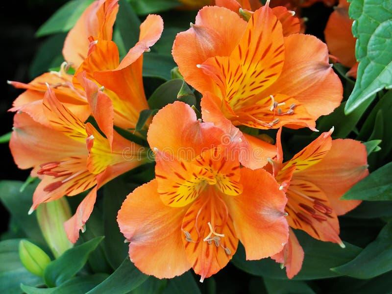 Orange Alstromeria eller peruan Lily In Bloom royaltyfri fotografi