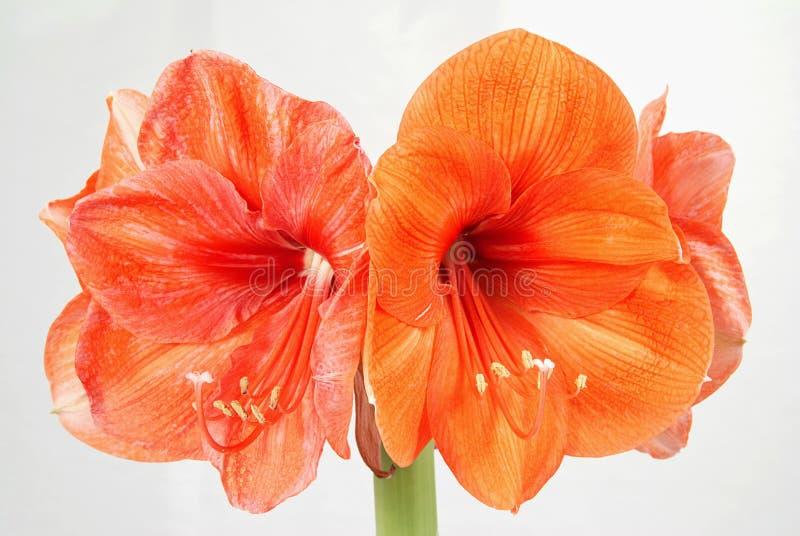 Orange amaryllis. Flower isolated on the white stock images
