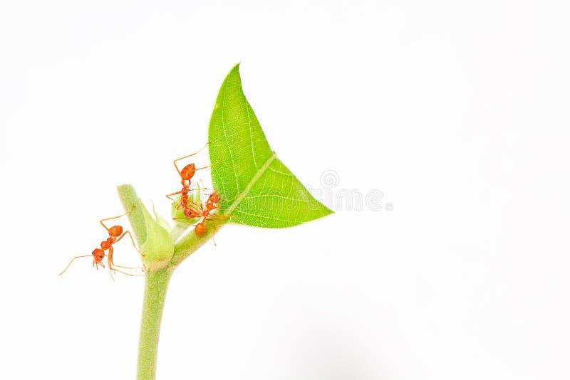 Download Orange Ameisenstütze Auf Oberstem Grünem Blatt Stockfoto - Bild von hintergründe, klein: 26357744