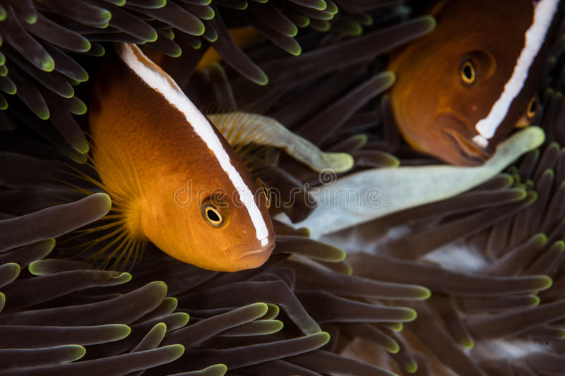 Orange Anemonefish. (Amphiprion sandaracinos) swim among the tentacles of their host anemone in Raja Ampat, Indonesia. This tropical region is known for its royalty free stock images