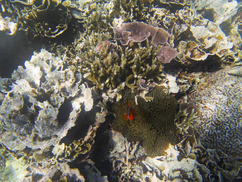 Orange anemonefish hiding in actinia. Undersea landscape photo. Wildlife scene of tropical shore. Coral reef underwater photo. Snorkeling in tropic. Exotic stock photo