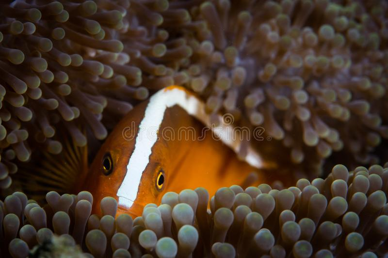 Orange Anemonefish on Reef in Indonesia. A colorful Orange anemonefish, Amphiprion sandaracinos, snuggles into the tentacles of its host anemone on a beautiful stock photos