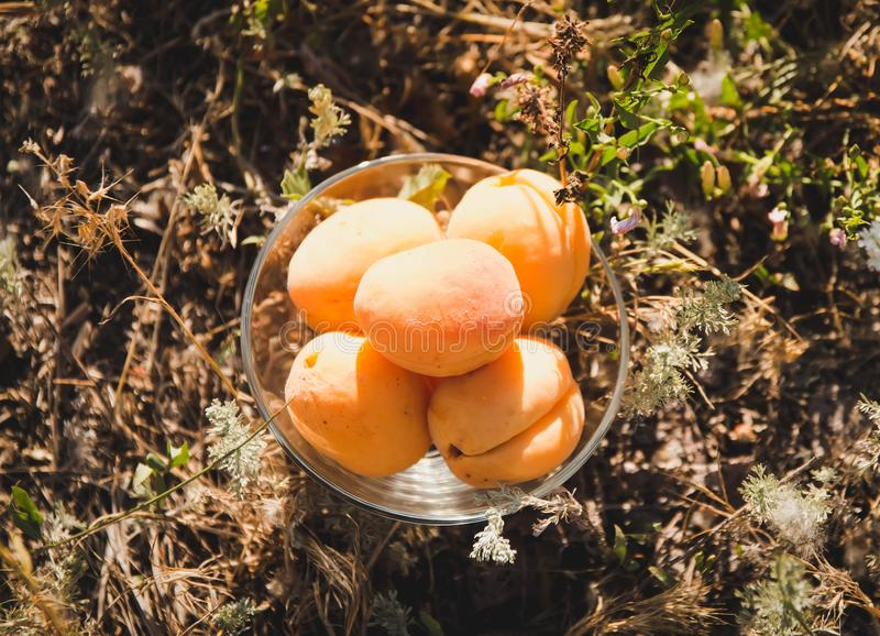 Orange aprikors i en platta, på gräset royaltyfri foto