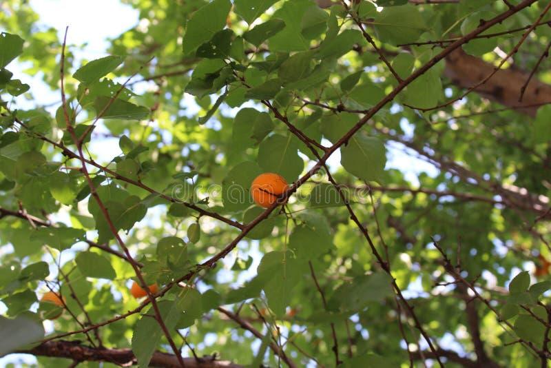 Orange Aprikosen sind auf einem Baumast reif lizenzfreie stockfotos
