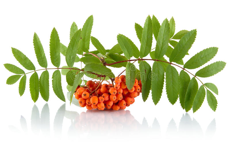 Orange ash-berry with leaves isolated on white background. Orange ash-berry with green leaves isolated on white background stock photography