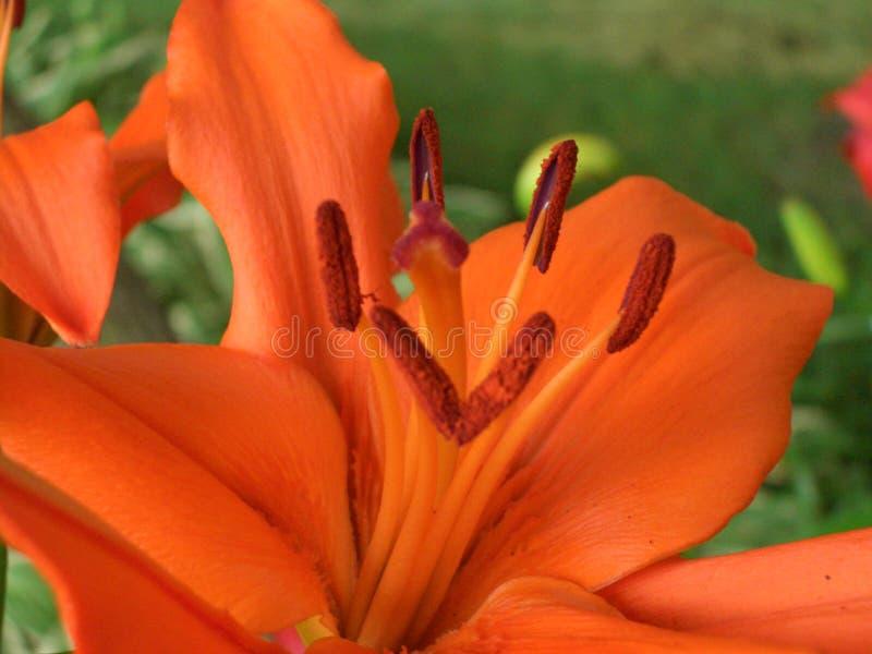 Orange Asiat Lilly in der Blüte stockbilder