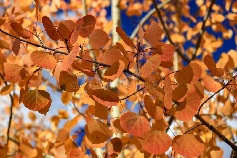 Orange aspens leaves close up stock photography