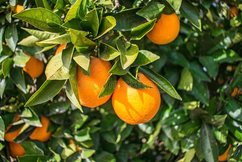 Orange auf dem Baum stockbild