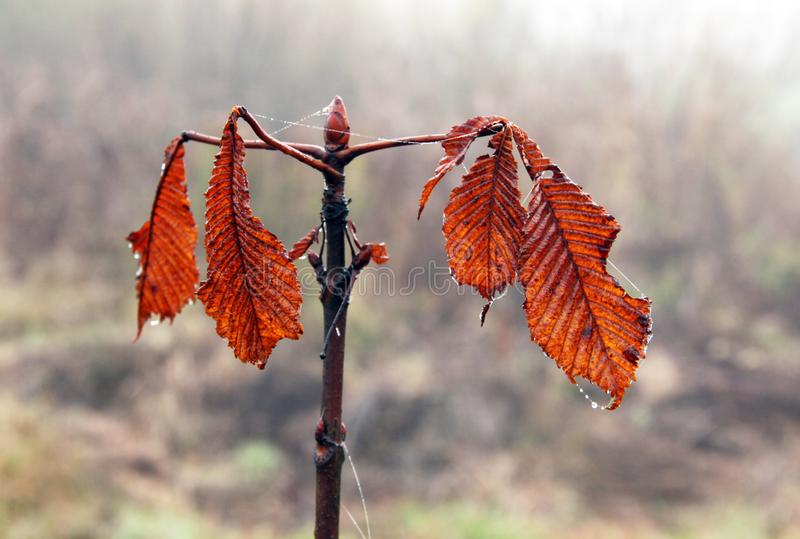 Orange Autumn. Bright propeller of orange autumn leaves on a branch of a bush royalty free stock image
