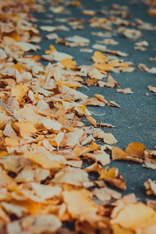 Orange autumn leaves on asphalt stock images