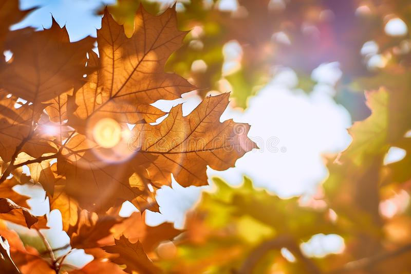 Orange autumn leaves on a background of the sun stock photo