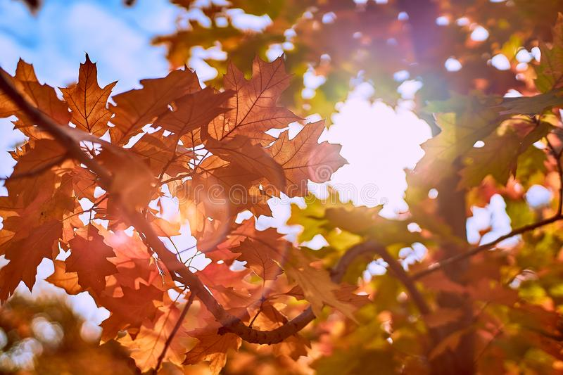 Orange autumn leaves on a background of the sun stock image