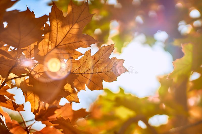 Orange autumn leaves on a background of the sun royalty free stock image