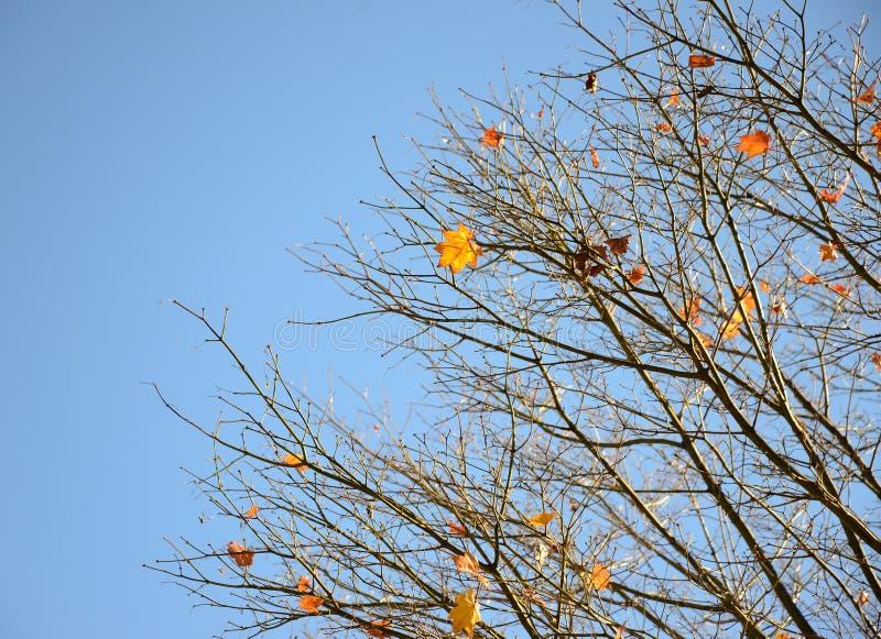 Orange autumn leaves. Orange leaves in bright clear sky in autumn stock image