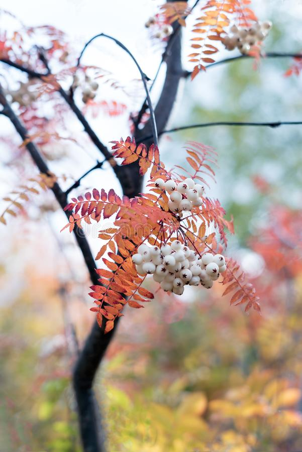 Orange autumn leaves from Koehne mountain ash, White Fruited Chinese Rowan, Sorbus koehneana, with many white berries stock image