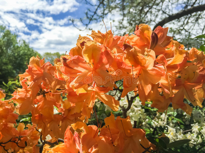 Orange azalea blossoms on a spring day stock image