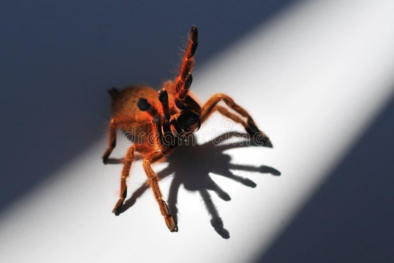 Orange Baboon Spider 2 stock photography