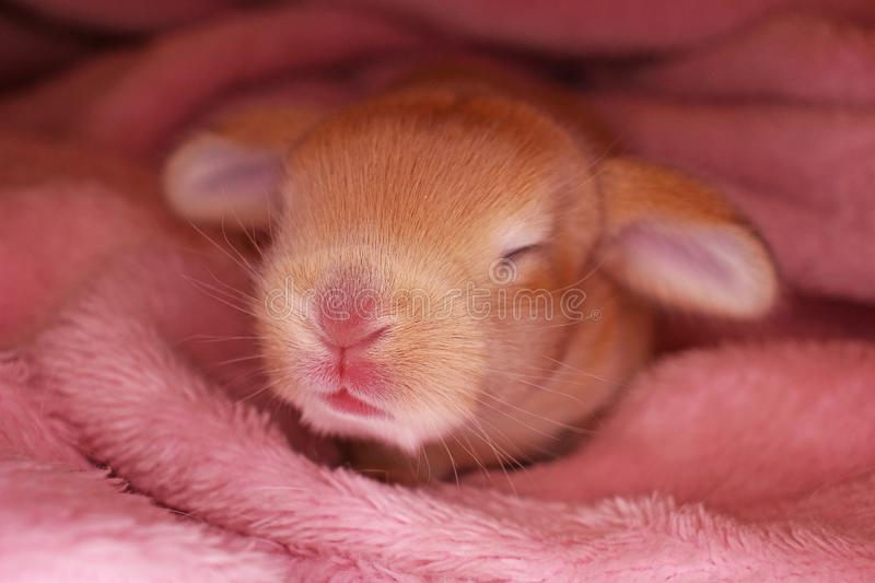 Orange baby bunny rabbit lop kit. New born pet rabbits. Cute royalty free stock images