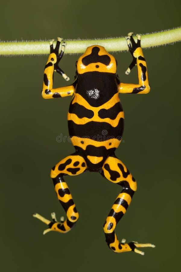 Download Orange-banded Poison Dart Frog Stock Image - Image of yellow, brazil: 16238349