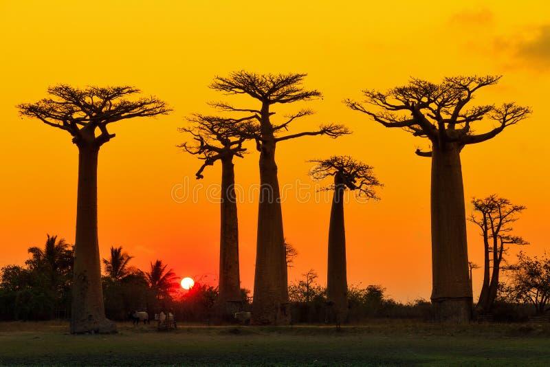 Orange baobabs arkivfoton