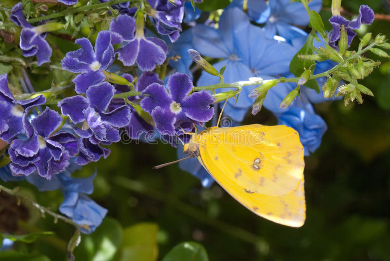 Orange Barred Sulphur Butterfly stock photography