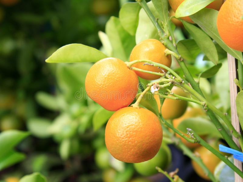Orange Baumast lizenzfreie stockfotos