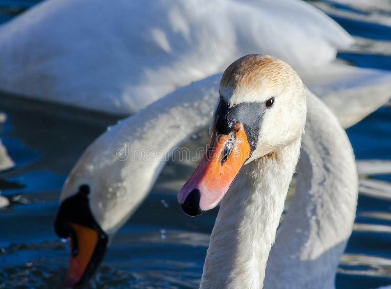 The orange beak of a swan. Portrait of a swan on the water. Symbol of love. Swan on the background of other birds royalty free stock photo