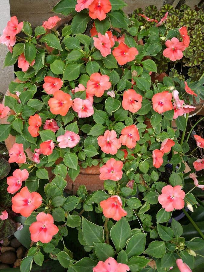Orange begonia stock photo