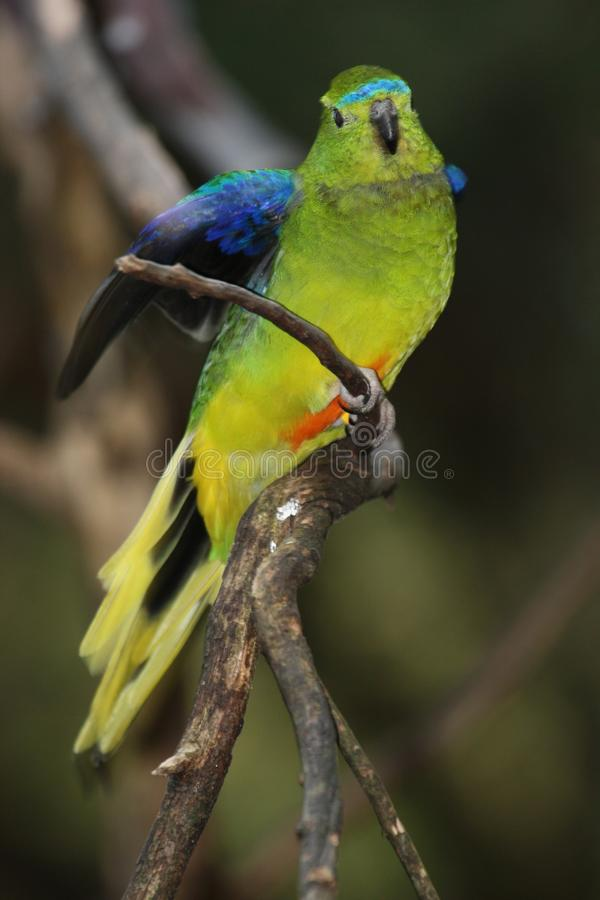 Orange-Bellied Parrot (Neophema Chrysogaster) royalty free stock images